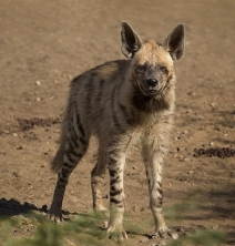 640px-Striped_Hyena_Adult Sumit Moghe